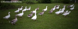 Cotton Patch Geese walking in grass